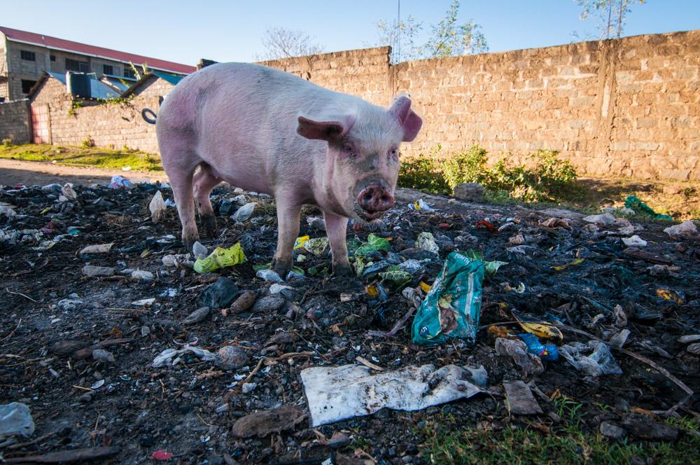 Cochon dans les rues de Naivasha