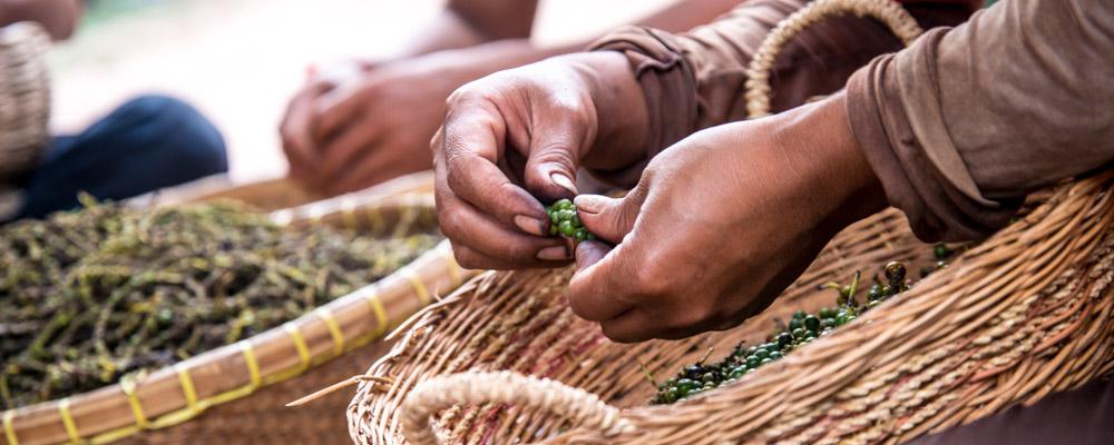 Egrenage du poivre vert