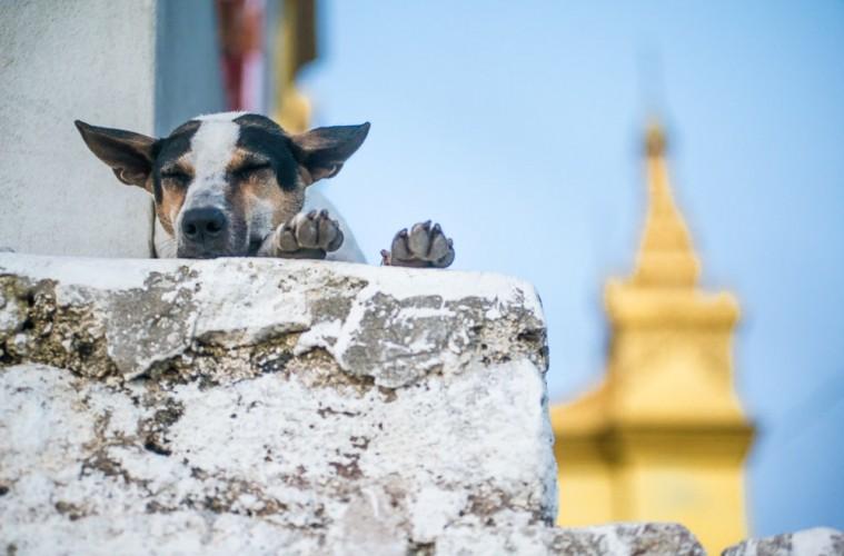 Un chien dort sur un muret du temple bouddhiste sur la Mandalay hill