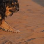 chien errant à Las Dunas de ConCon
