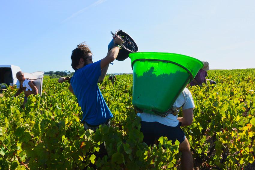 les porteurs dans les vignes